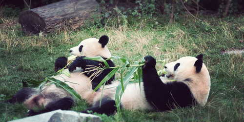 Visit a Panda breeding facilty in China